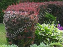 Живые изгороди из вечнозеленых и лиственных растений - посадка и выбор