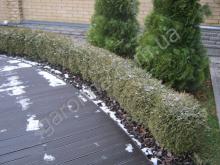 Живая изгородь из туи зимой