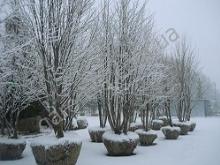 Высадка крупномеров зимой